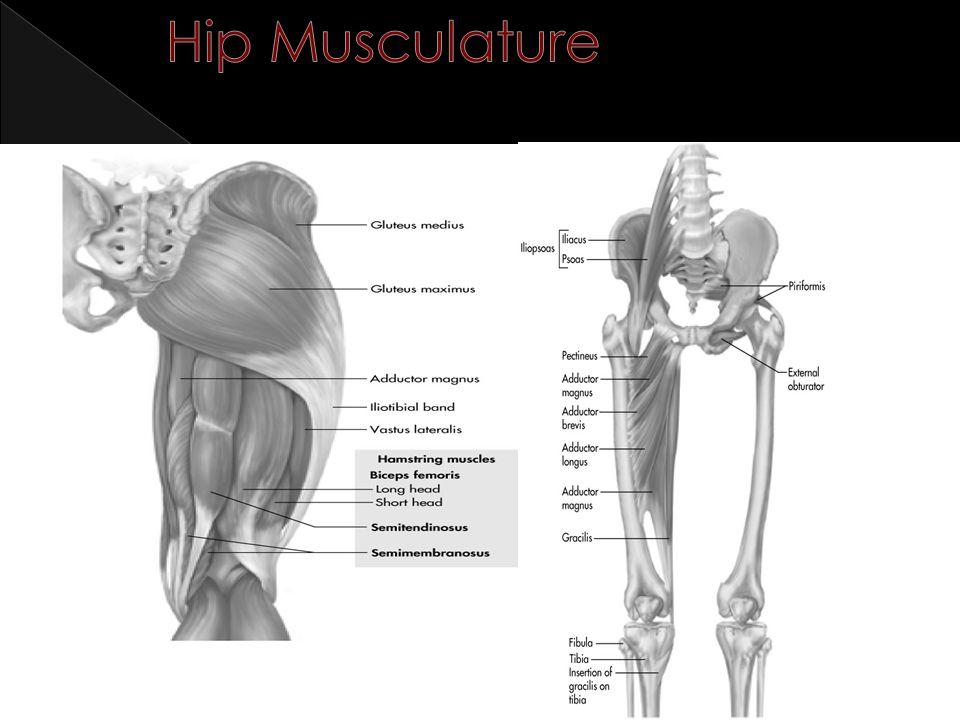 Hip Musculature 6