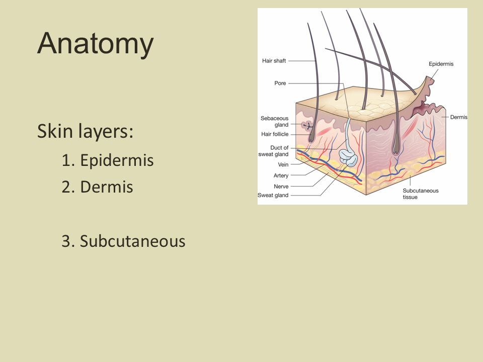 Anatomy Skin layers: 1. Epidermis 2. Dermis 3. Subcutaneous 5
