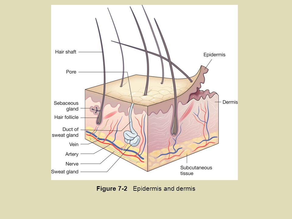 Figure 7-2 Epidermis and dermis
