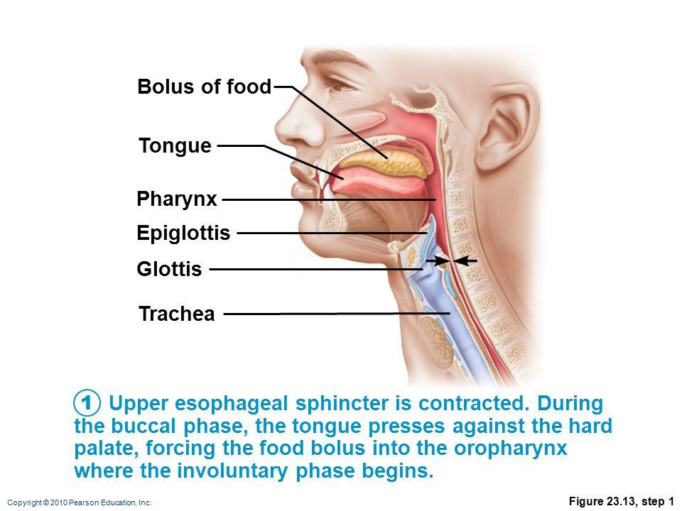 Bolus of food Tongue Pharynx Epiglottis Glottis Trachea