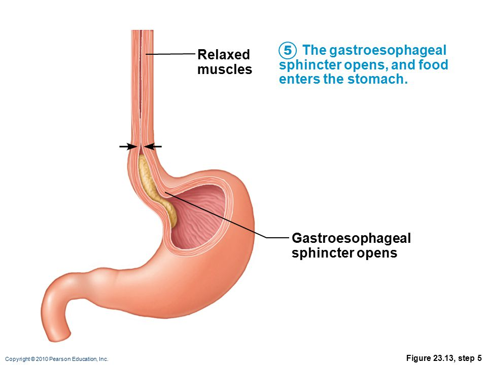 The gastroesophageal sphincter opens, and food enters the stomach.