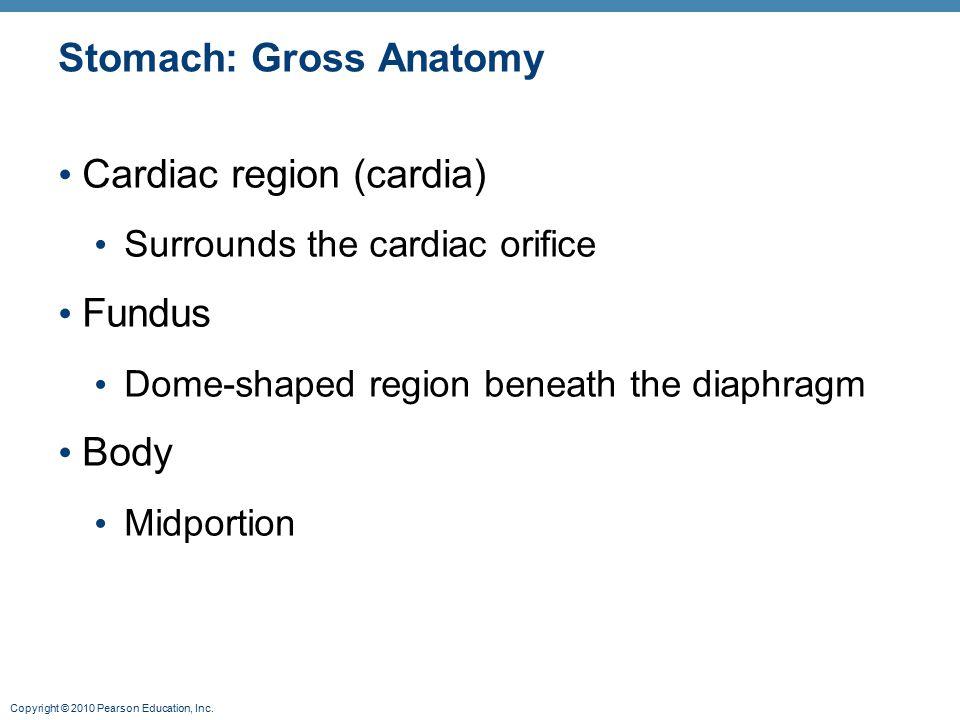 Stomach: Gross Anatomy