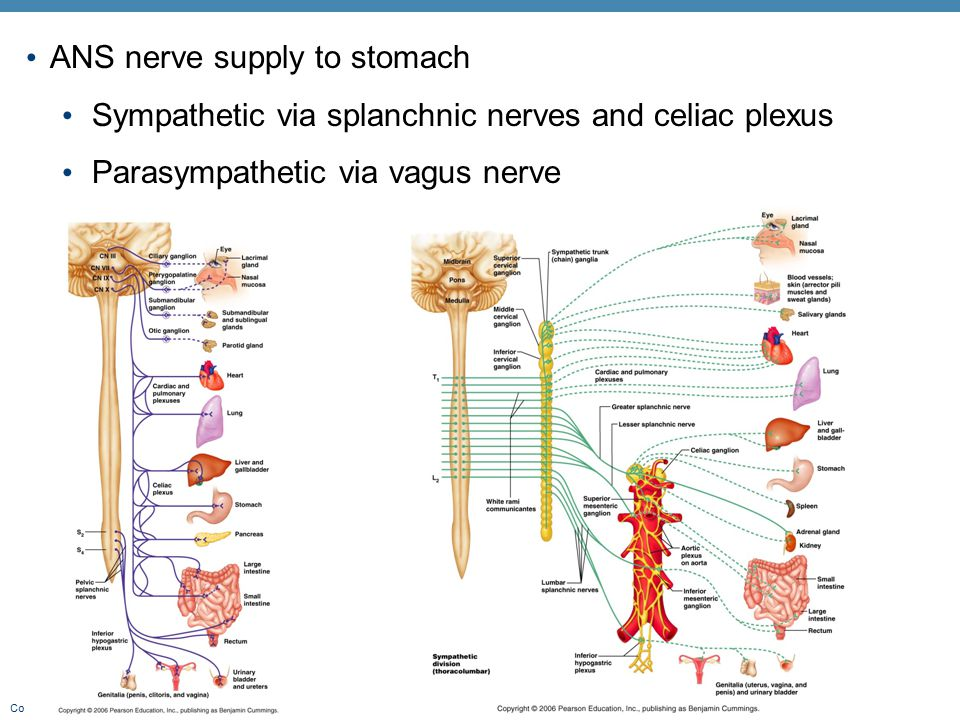 ANS nerve supply to stomach