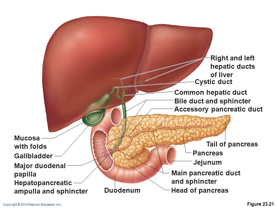 Bile duct and sphincter Accessory pancreatic duct