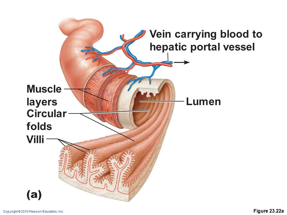 Vein carrying blood to hepatic portal vessel Muscle layers Lumen