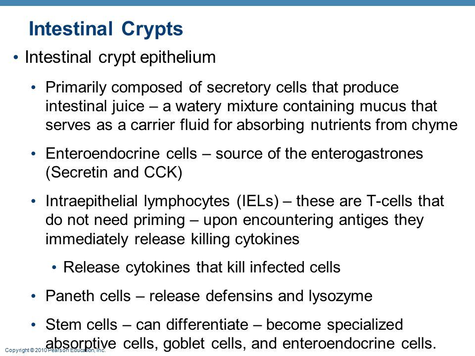 Intestinal Crypts Intestinal crypt epithelium