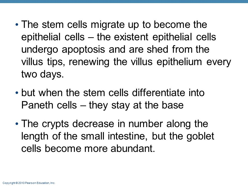 The stem cells migrate up to become the epithelial cells – the existent epithelial cells undergo apoptosis and are shed from the villus tips, renewing the villus epithelium every two days.