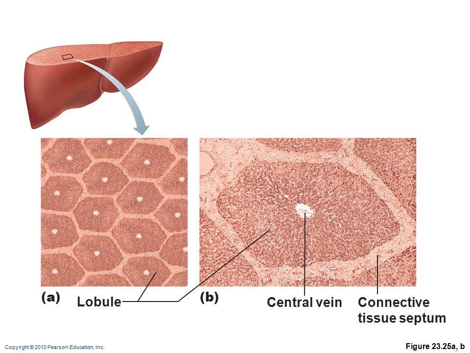 (a) (b) Lobule Central vein Connective tissue septum Figure 23.25a, b