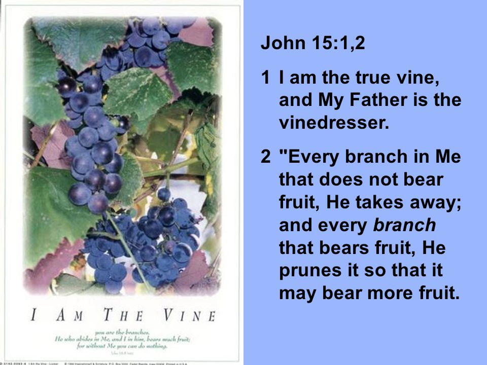 John 15:1,2 I am the true vine, and My Father is the vinedresser.