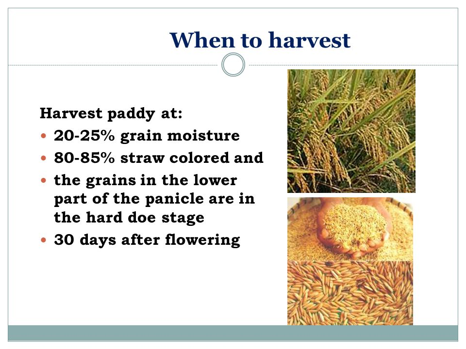When to harvest Harvest paddy at: 20-25% grain moisture
