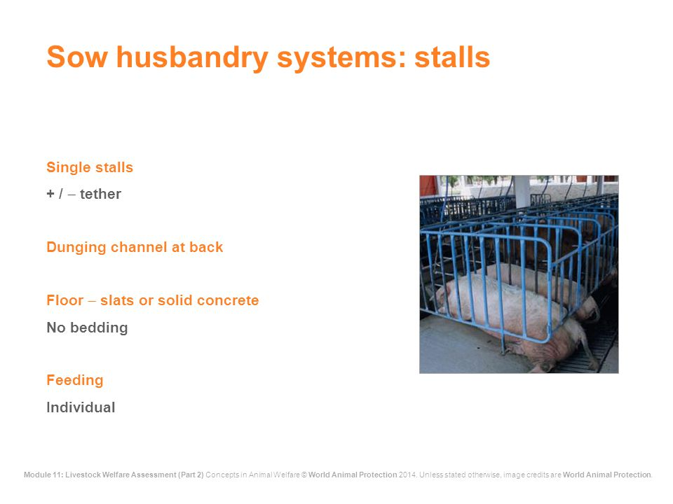 Sow husbandry systems: stalls
