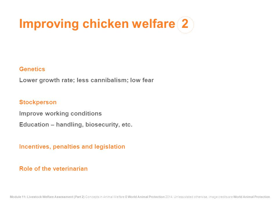 Improving chicken welfare 2