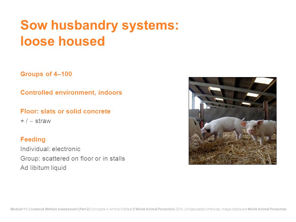 Sow husbandry systems: loose housed