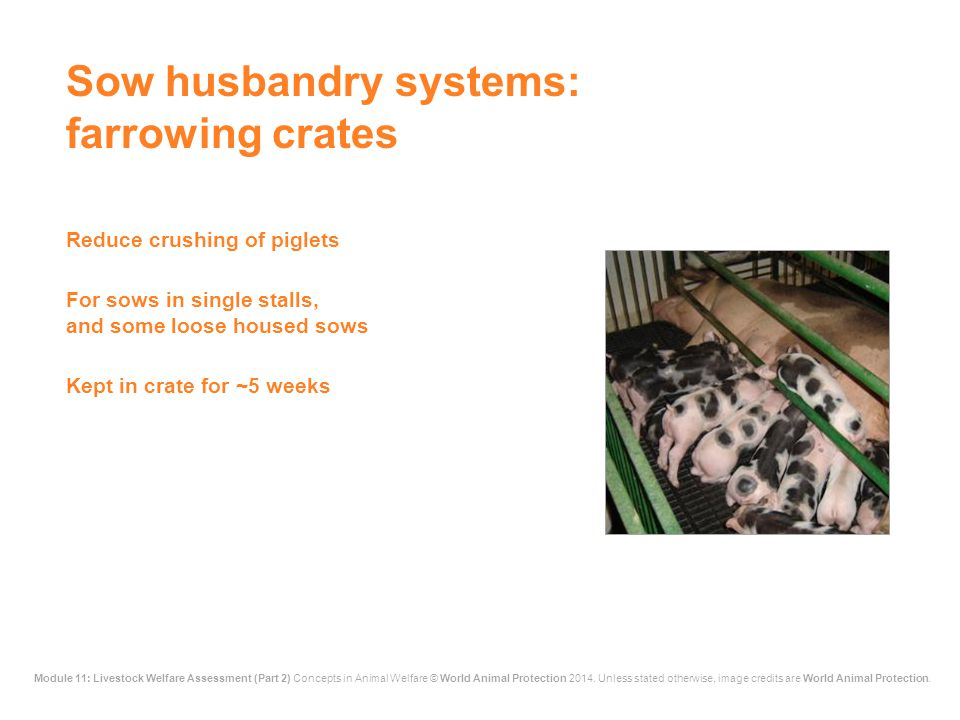Sow husbandry systems: farrowing crates