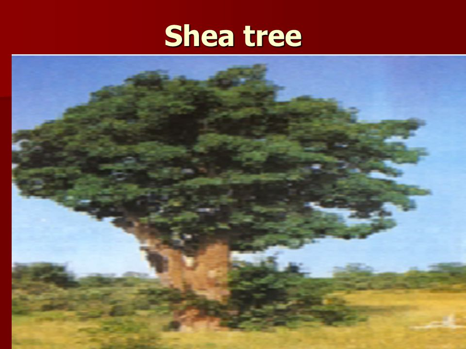 Shea tree