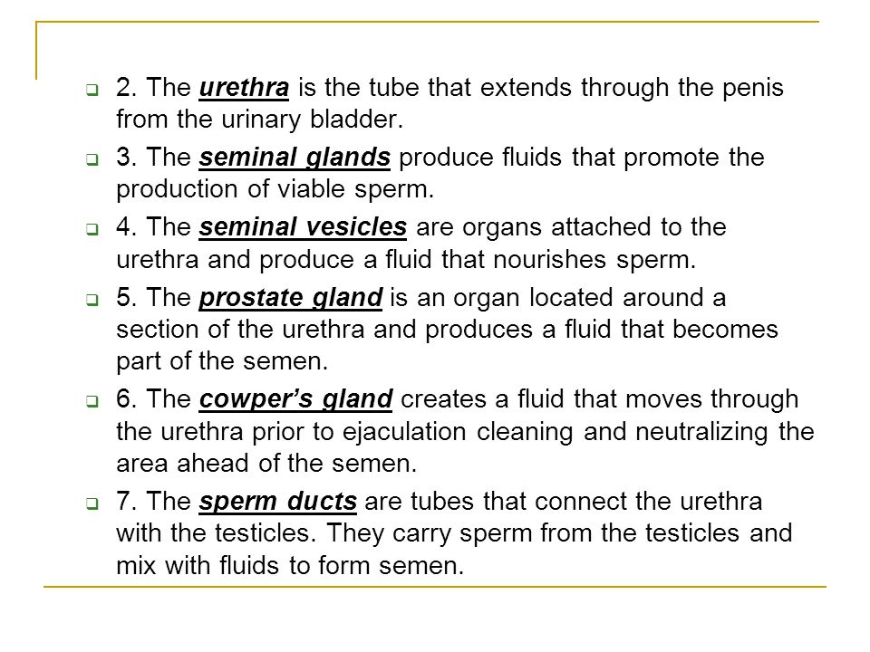 2. The urethra is the tube that extends through the penis from the urinary bladder.