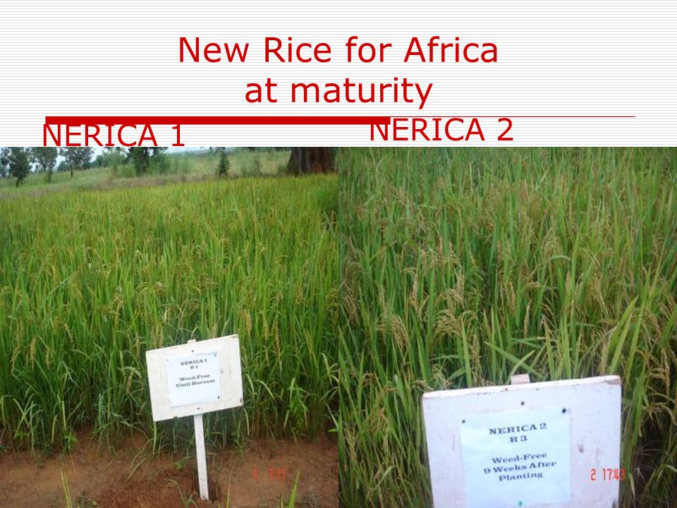 New Rice for Africa at maturity