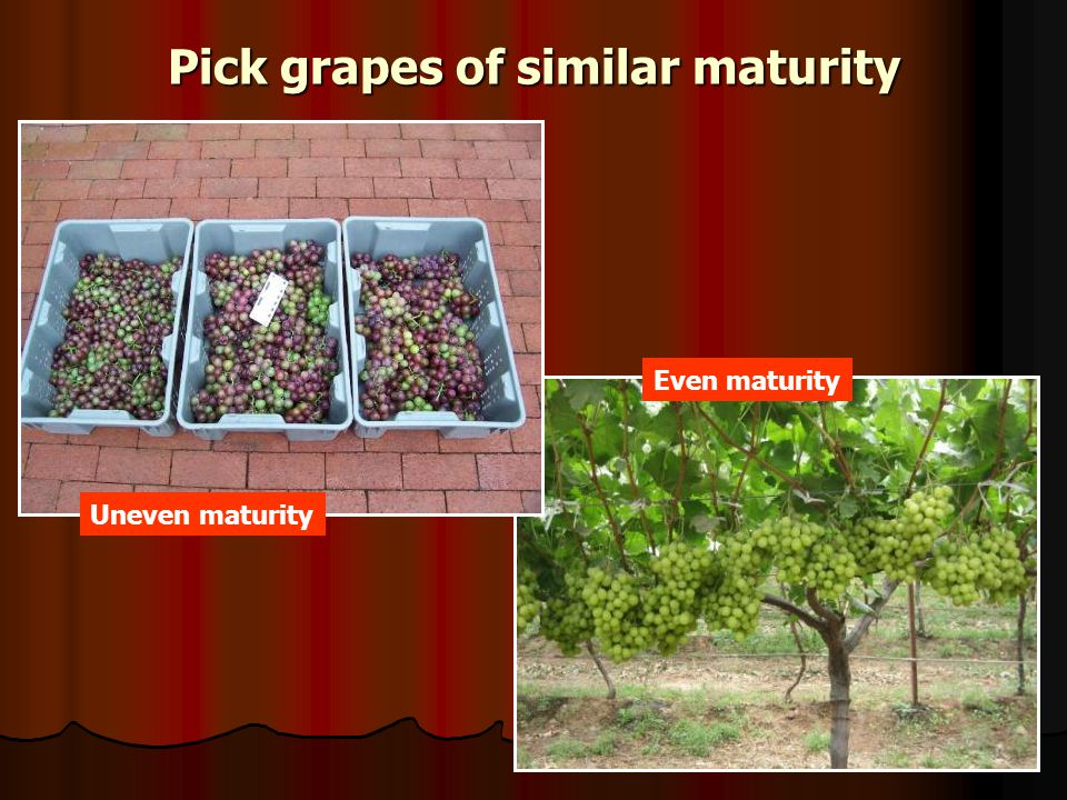 Pick grapes of similar maturity