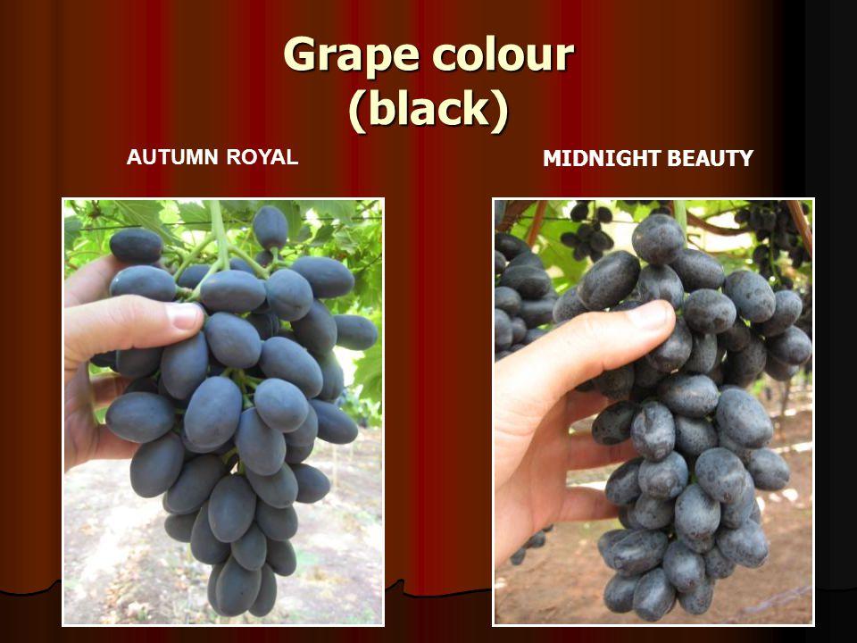 Grape colour (black) AUTUMN ROYAL MIDNIGHT BEAUTY