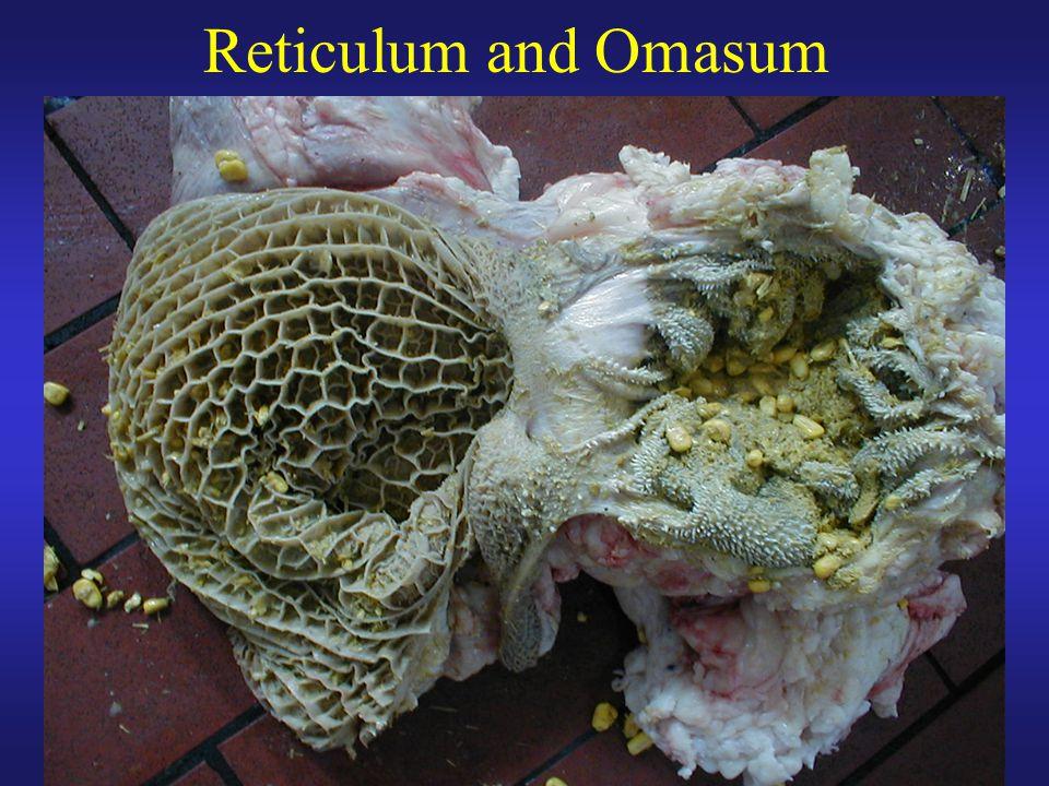 Reticulum and Omasum