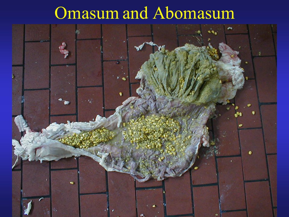Omasum and Abomasum