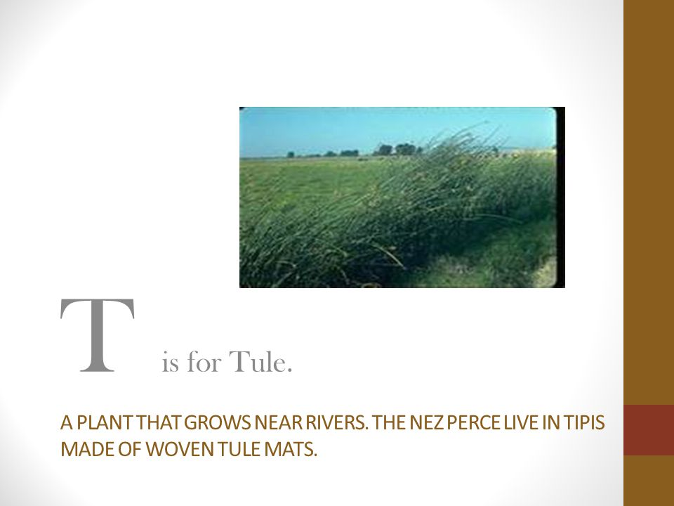 T is for Tule. A plant that grows near rivers. The nez perce live in tipis made of woven tule mats.