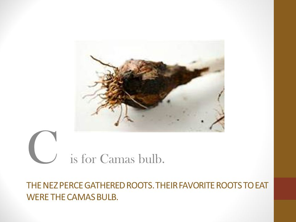 C is for Camas bulb. The nez perce gathered roots. Their favorite roots to eat were the camas bulb.