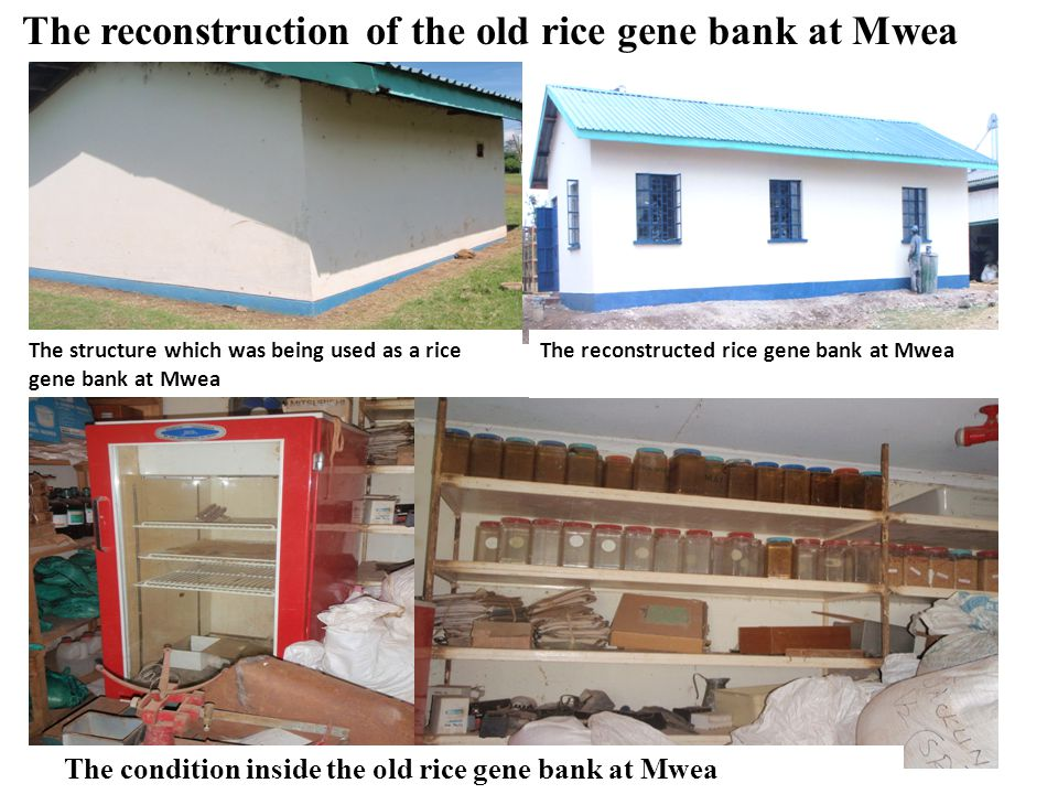 The reconstruction of the old rice gene bank at Mwea