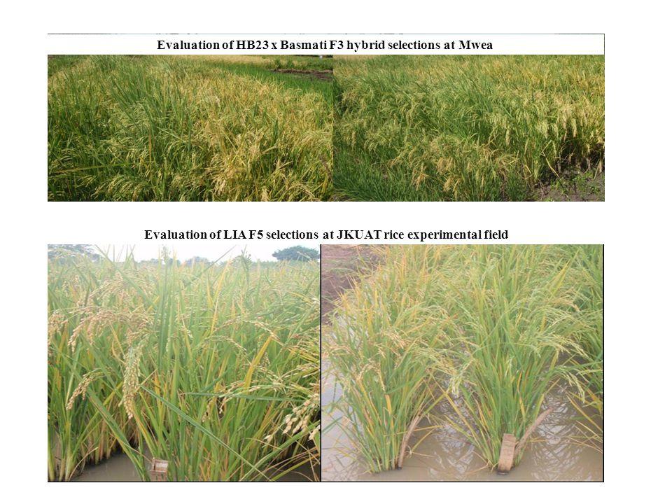 Evaluation of HB23 x Basmati F3 hybrid selections at Mwea