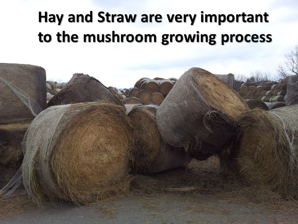 Hay and Straw are very important to the mushroom growing process