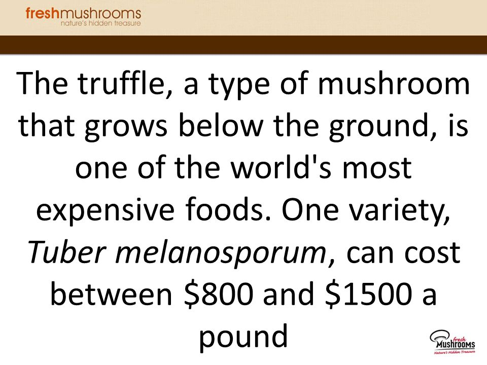 The truffle, a type of mushroom that grows below the ground, is one of the world s most expensive foods.