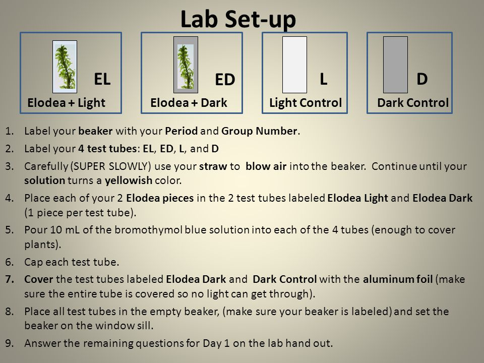 Lab Set-up EL. ED. L. D. Elodea + Light Elodea + Dark Light Control Dark Control.
