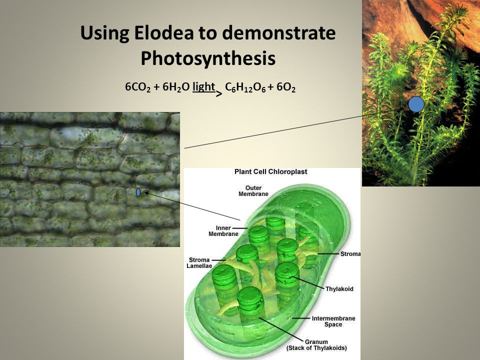 Using Elodea to demonstrate Photosynthesis 6CO2 + 6H2O light> C6H12O6 + 6O2