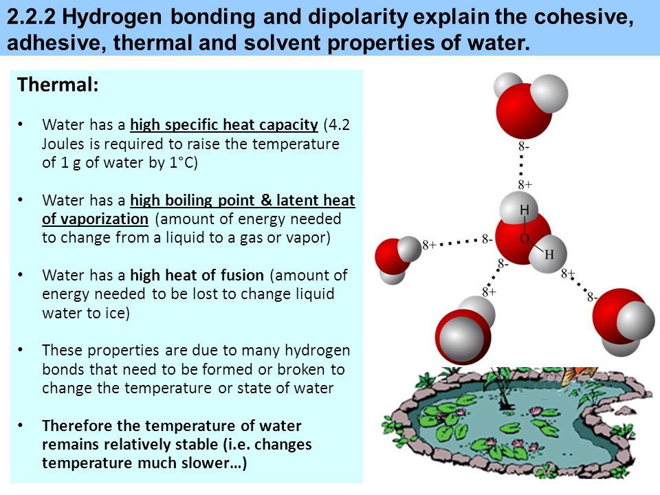 2.2.2 Hydrogen bonding and dipolarity explain the cohesive, adhesive, thermal and solvent properties of water.