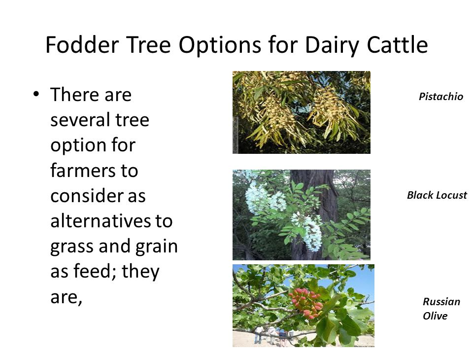 Fodder Tree Options for Dairy Cattle