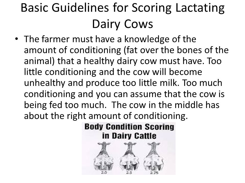 Basic Guidelines for Scoring Lactating Dairy Cows