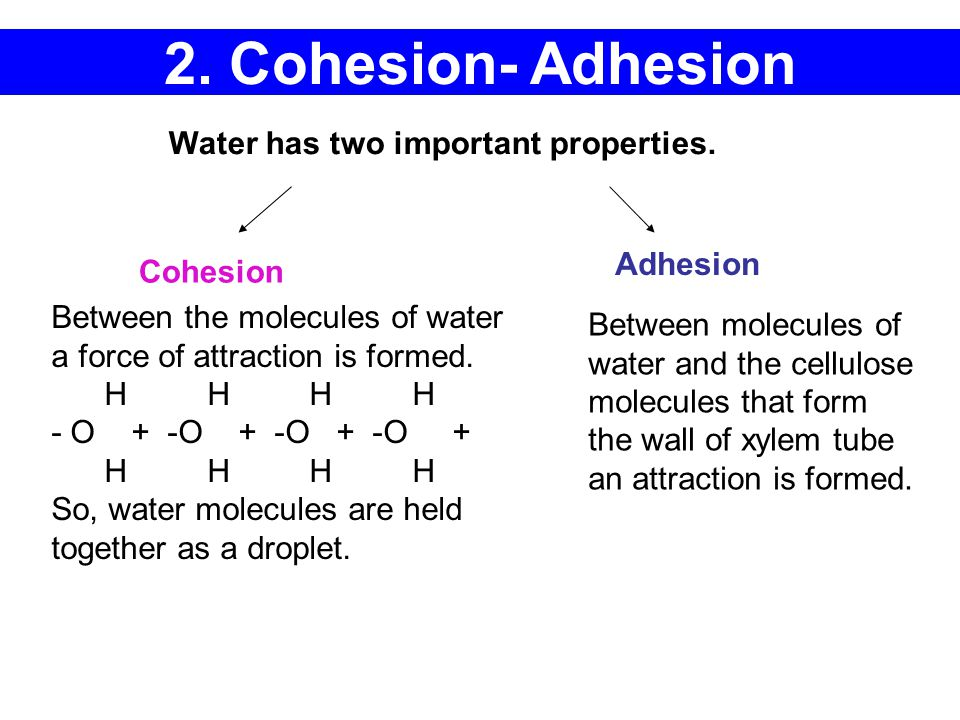 2. Cohesion- Adhesion Water has two important properties. Adhesion