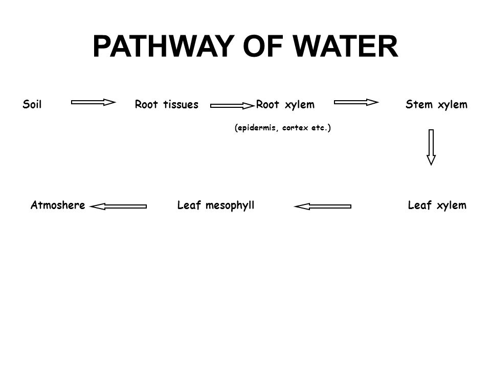 PATHWAY OF WATER Soil Root tissues Root xylem Stem xylem