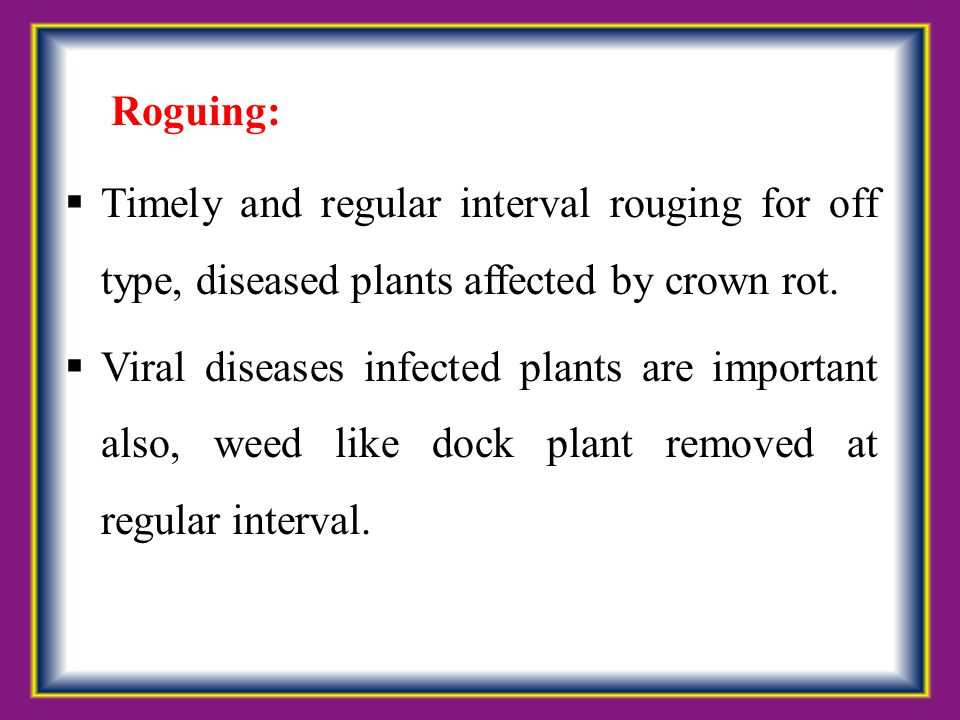 Roguing: Timely and regular interval rouging for off type, diseased plants affected by crown rot.