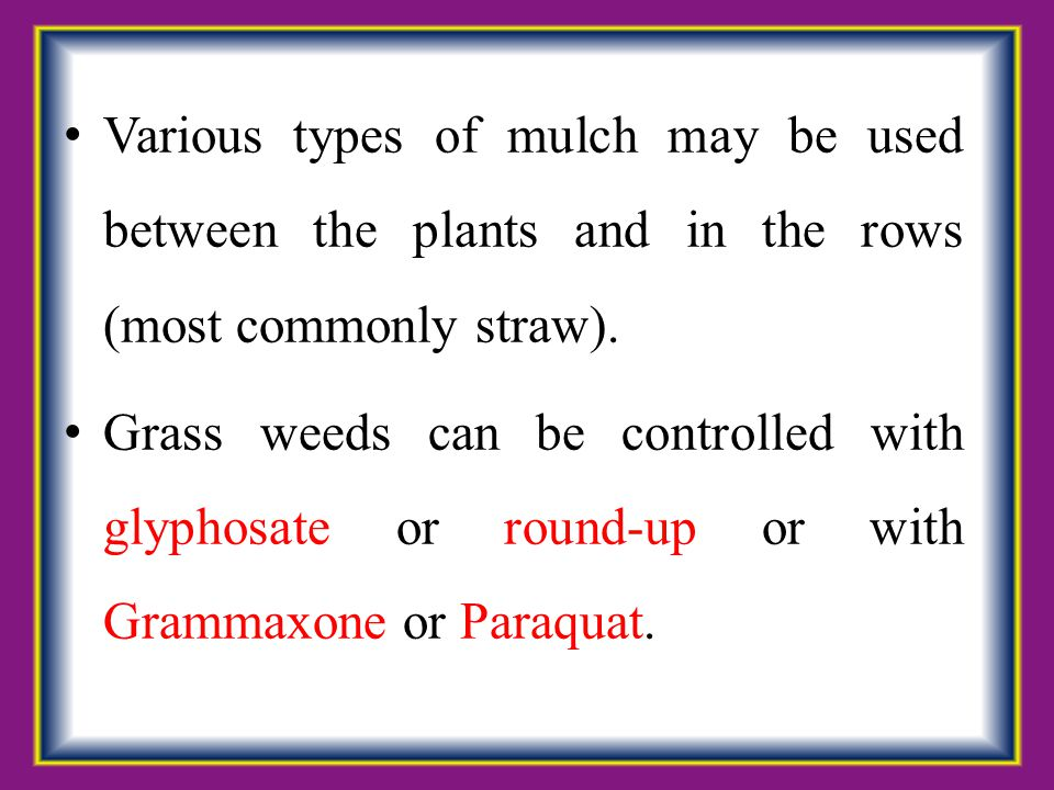 Various types of mulch may be used between the plants and in the rows (most commonly straw).