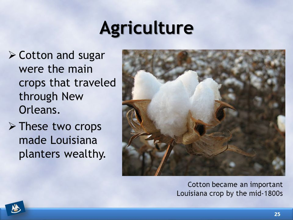 Agriculture Cotton and sugar were the main crops that traveled through New Orleans. These two crops made Louisiana planters wealthy.