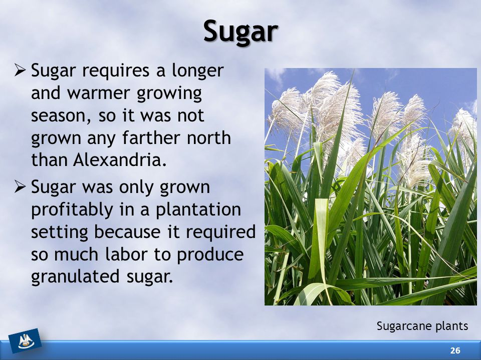 Sugar Sugar requires a longer and warmer growing season, so it was not grown any farther north than Alexandria.