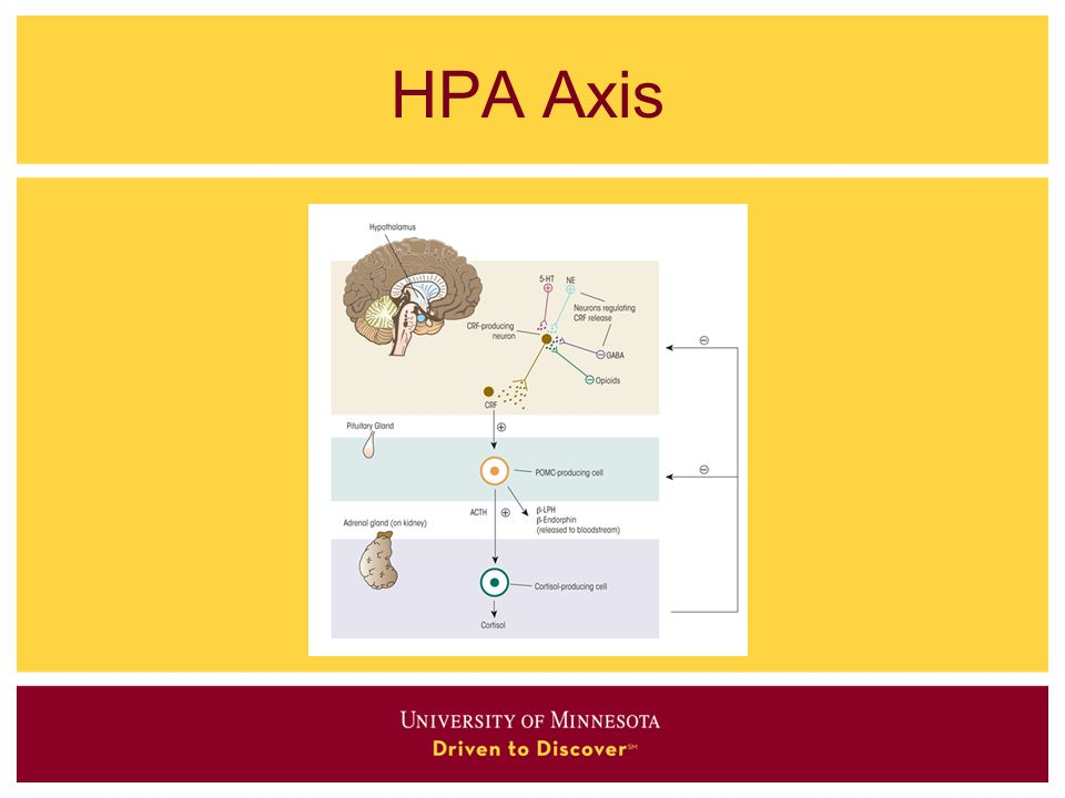 HPA Axis Increased cortisol leads to increased insulin secretion which contributes to accumulation of fat.