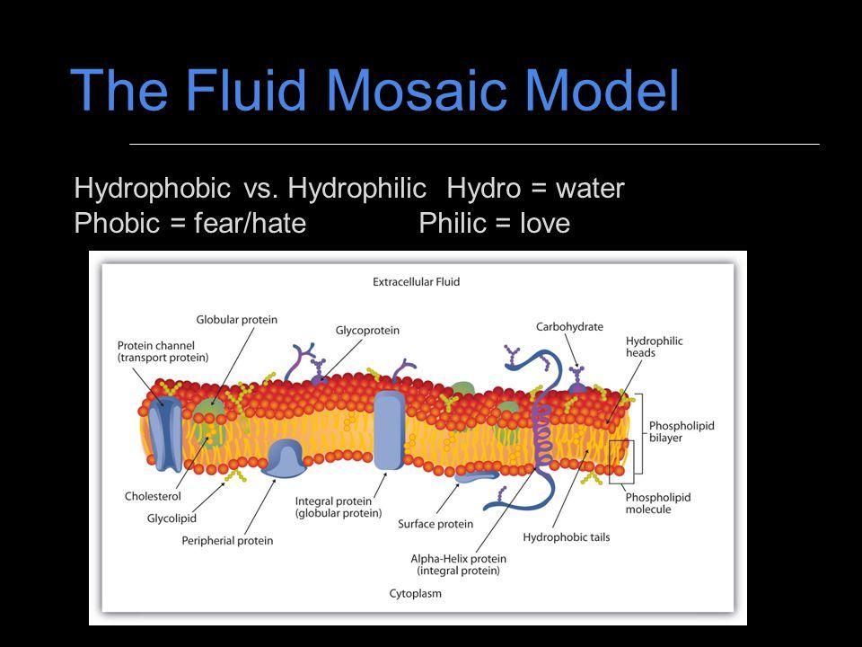 The Fluid Mosaic Model Hydrophobic vs. Hydrophilic Hydro = water