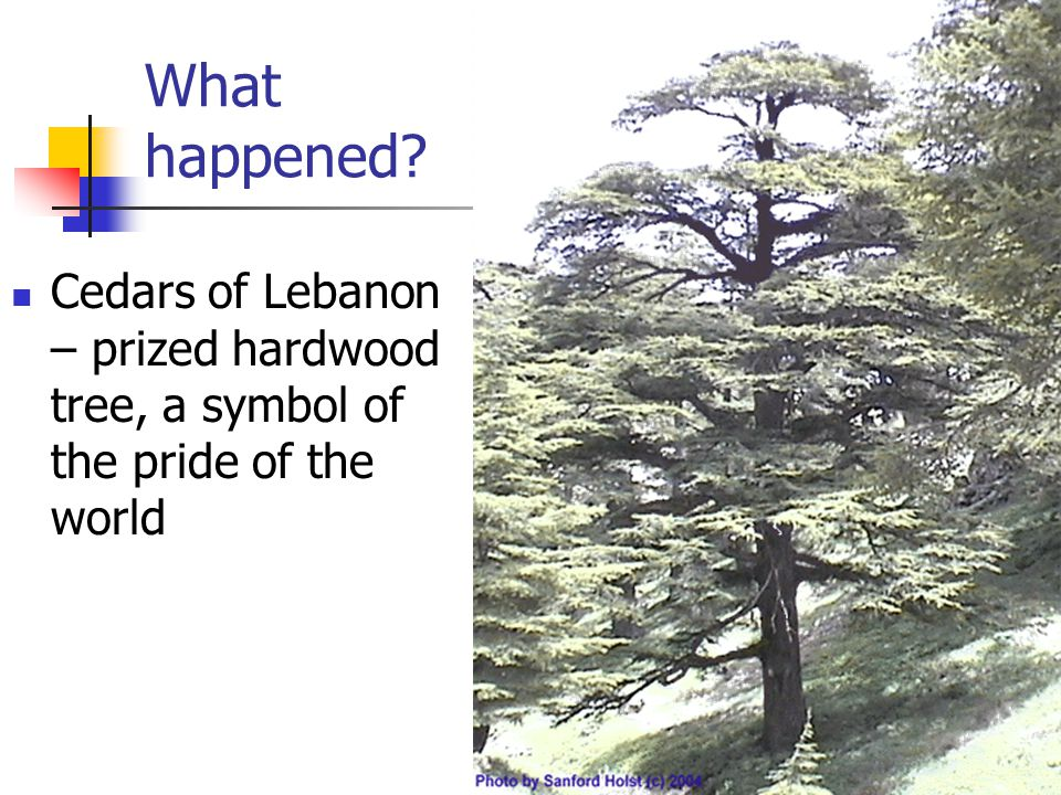 What happened Cedars of Lebanon – prized hardwood tree, a symbol of the pride of the world