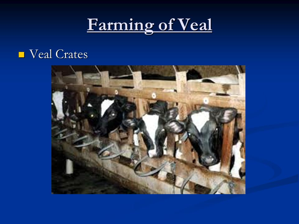 Farming of Veal Veal Crates