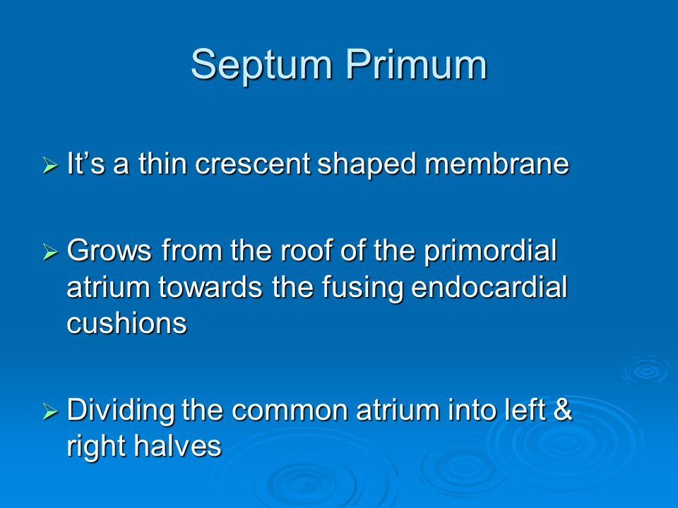 Septum Primum It's a thin crescent shaped membrane