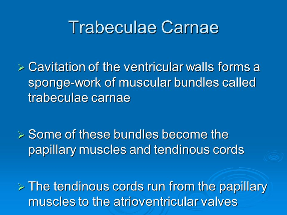 Trabeculae Carnae Cavitation of the ventricular walls forms a sponge-work of muscular bundles called trabeculae carnae.