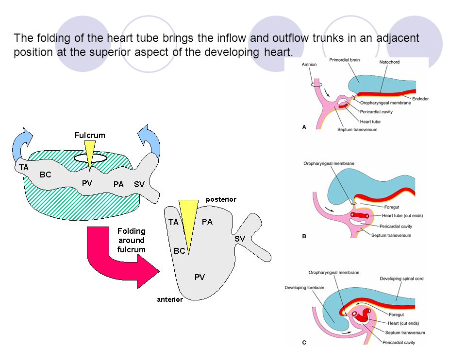 The folding of the heart tube brings the inflow and outflow trunks in an adjacent position at the superior aspect of the developing heart.