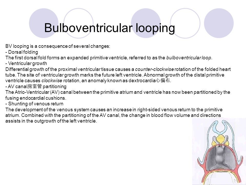 Bulboventricular looping